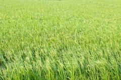 Reispflanze auf dem Reisgebiet Stockfotos