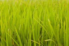 Reispflanze auf dem Reisgebiet, Hong Kong. Stockfotos