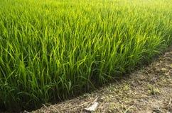 Reispflanze und Boden Stockbild