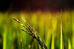Reispflanze- und Spinnenweb Lizenzfreies Stockbild