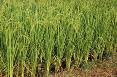 Reispflanzen Lizenzfreie Stockfotografie