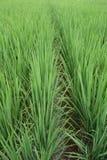 Reispflanzen Stockfoto