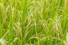 Reispflanzen in Paddy Field Lizenzfreies Stockfoto