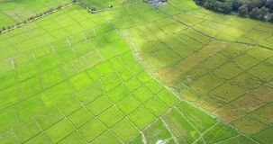 Reispflanzen in Paddy Field stock footage