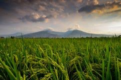 Reispflanzen und die Gebirgsdämmerung stockfotos
