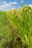 Reispflanzeverbiegen Lizenzfreie Stockbilder