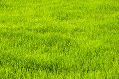 Reispflanzewachsen Stockfoto