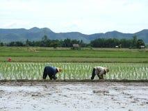 Reisplantage stockbilder