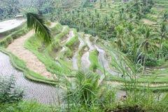 Reisplantage in Bali, Indonesien lizenzfreie stockfotos
