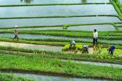Reisplantage Balis, Indonesien am 12. Januar 2018 - mit Arbeiter Lizenzfreie Stockfotos