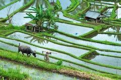 Reisplantage Balis, Indonesien am 12. Januar 2018 - mit Büffel und Arbeiter Ernten des Getreides Lizenzfreies Stockfoto