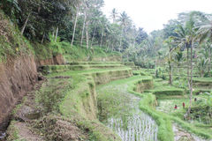 Reisplantage in Ubud, Bali Lizenzfreie Stockfotos