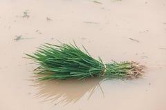 Reissämlinge auf einem Reisgebiet lizenzfreies stockbild