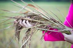 Reissamen in den Händen von Frauen Stockfotos