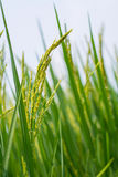 Reisspitze auf dem Reisgebiet. Stockfotografie