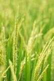 Reisspitze auf dem Reisgebiet. Stockfotos