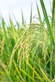 Reisspitze auf dem Reisgebiet Stockfotos