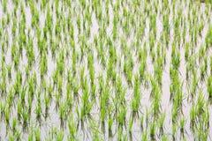 Reissprösslinge Lizenzfreies Stockfoto