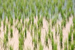Reissprösslinge Stockfoto