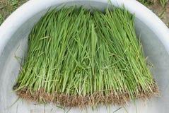 Reissprösslinge Lizenzfreie Stockbilder