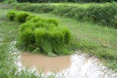 Reissprösslinge Stockfotos