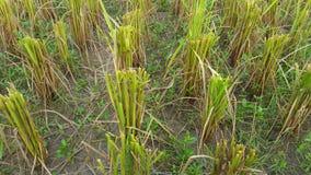 Reisstamm nach Ernte stockbilder