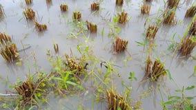 Reisstamm nach Ernte stockfotografie