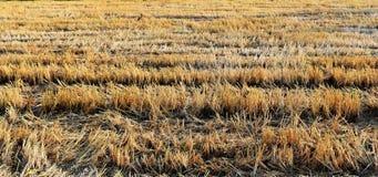 Reisstoppel auf dem Reisgebiet nach harves Stockfotografie