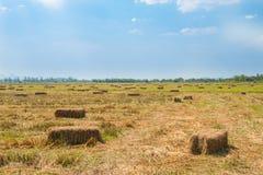 Reisstroh auf dem Gebiet mit Hintergrund des blauen Himmels Stockbild