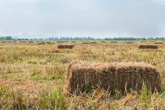 Reisstroh auf dem Gebiet mit Hintergrund des blauen Himmels Lizenzfreie Stockbilder