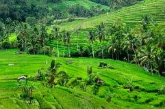 Reisterrasse in Bali Lizenzfreie Stockbilder