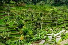 Reisterrasse in Bali Stockbilder