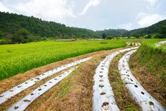 Reisterrasse Nationalpark Doi Inthanon am Chom-Zapfen-Bezirk Chiang Mai Province Lizenzfreie Stockbilder
