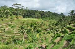 Reisterrassen auf Bali stockbild