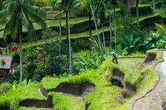 Reisterrassen bei Tegallalang in Bali lizenzfreies stockbild