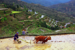 Reisterrassen. Chinesischer Landwirt bebaut den Boden auf dem Reisfeld. Lizenzfreies Stockbild