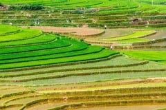 Reisterrassen in dem Pflanzen von Jahreszeit Stockfotos