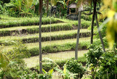 Reisterrassen im Dschungel von Bali Lizenzfreie Stockfotos