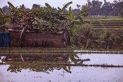 Reisterrassen und Reispaddys in Bali stockbild