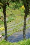 Reisterrassen von Bali Stockbild