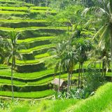 Reisweidelandschaft Lizenzfreies Stockfoto