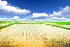 Reiswiese Lizenzfreie Stockbilder