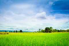 Reiswiese Stockfoto