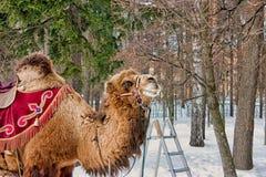 Reiten des Kamels, Archangelskoe-Landsitz 2009 lizenzfreie stockbilder