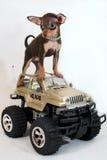 Reiten Sie den Jeep! - Russischer Spielzeugterrierwelpe Stockfoto