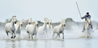 Reiter und Herde von weißen Camargue-Pferden, die durch Wasser laufen Lizenzfreies Stockfoto