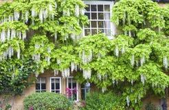 Reizend englisches Häuschen mit weißen Glyzinieblumen Stockfotos