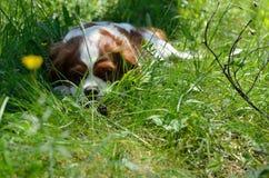 Reizend Hund, unbekümmerter König Charles Spaniel (Blenheim) nach Lauf Stockfoto