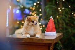 Reizend pomeranian Spitz vor dem hintergrund des glänzenden Weihnachtsbaums Lizenzfreie Stockbilder