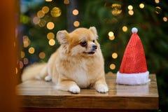 Reizend pomeranian Spitz vor dem hintergrund des glänzenden Weihnachtsbaums Stockbilder